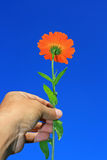 Hand Held flower. An orange flower (canendula) being held in the hand set against a bright blue and clear background royalty free stock photography