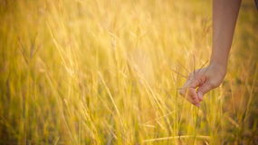 Hand held gold grass. With sunset Stock Image
