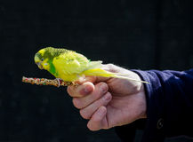 Hand held parakeet Royalty Free Stock Image