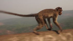 A monkey runs across a barricade in rural India. A hand held shot of a monkey running across a barricade with a jungle back drop stock footage