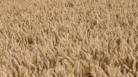 Hand held shot of a wheat field during late afternoon. stock video