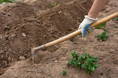 Hand hilling potatoes with hoes in the garden. Hand hilling potatoes with hoes in the vegetable garden, closeup Stock Image