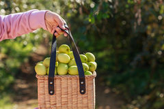 Hand hodling basket with green monkey apple Royalty Free Stock Images