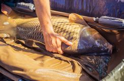 Hand hold alive carp in wet basket stretcher. Big fish catch in water on sunny day. Carp fishing, angling, fish catching, capture. Trophy, success, achievement royalty free stock images
