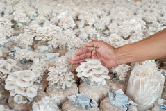 Hand of hold bag of  Oyster mushrooms grown on the farm. Royalty Free Stock Images