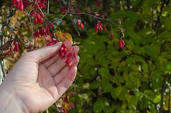Hand hold a bunch of barberry berries stock photo