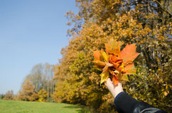 Hand hold bunch orange leaves autumn forest trees Stock Photography