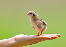 Hand hold caring for a small chicken Royalty Free Stock Image