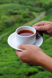 Hand Hold A Cup Of Tea. A hand holding a cup of tea isolated with tea farm at the background Stock Images