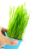Hand hold flowerpot with wheatgrass Royalty Free Stock Image