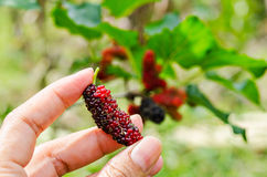 Hand hold fresh ripe black and red mulberry. Stock Image