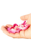 Hand hold fresh rose from garden isolated on white background Royalty Free Stock Photo