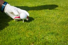 Hand hold golf ball with tee on course, close up royalty free stock images