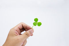 Hand hold lucky clover Stock Image
