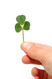 Hand hold a lucky shamrock Royalty Free Stock Photography