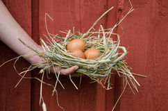 Hand hold nest with eggs on wooden wall background Stock Photo