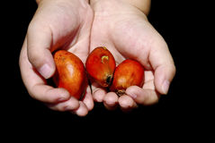 Hand Hold Oil Palm Seed Royalty Free Stock Photo