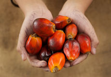 Hand hold oil palm seed Stock Photo