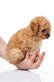 Hand hold poodle puppy Stock Images