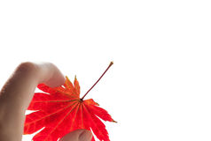 Hand hold red maple leaf. Stock Photography