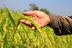 Hand hold ripe rice in the autumn. Rice Royalty Free Stock Photography
