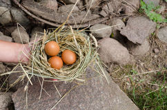Hand hold small hay nest with  oval chicken eggs Stock Photos
