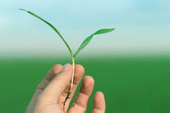 Hand hold spring wheat seedling. Growth concept. Royalty Free Stock Image