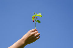 Hand hold strawberrie spray on blue sky background Stock Images