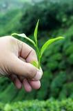 Hand Hold A Tea Leaf. A left hand holding a tea leaf isolated with tea farm background Royalty Free Stock Photo