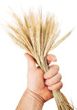 Hand hold wheat Stock Images