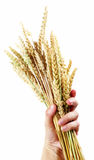 Hand hold wheat ears Stock Photos