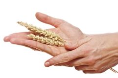 Hand hold wheat ears Stock Image