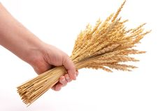 Hand hold wheat ears Stock Images