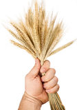 Hand hold wheat Stock Photography