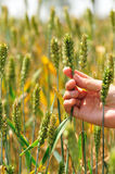 Hand hold wheat grain Royalty Free Stock Images