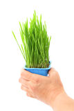 Hand hold wheatgrass Royalty Free Stock Photography