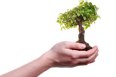 Hand Holding A Bonsai Tree Royalty Free Stock Photo