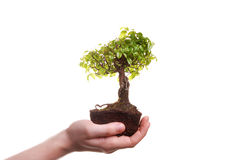 Hand Holding A Bonsai Tree Stock Photos