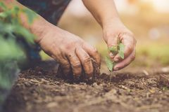 Free Hand Holding And Planting Young Butterfly Pea Tree Into Soil. Sa Royalty Free Stock Photography - 120582207