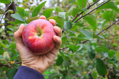 Hand holding an apple Royalty Free Stock Photos