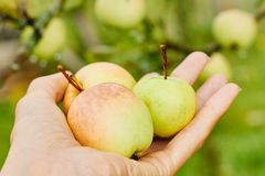 Hand holding apples royalty free stock photos