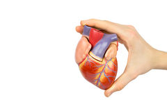 Hand holding artificial human heart model on white background Stock Photos