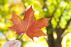 Hand holding autumn leaf Royalty Free Stock Photo