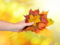 Hand holding autumn maple leaves Stock Photos