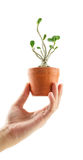 Hand holding a azalea bonsai tree in flower pot Royalty Free Stock Photos
