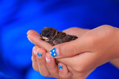 Hand holding a baby brood sparrow on hand. Hand holding a baby brood sparrow on hand Stock Image
