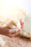 Hand holding baby chick Royalty Free Stock Image