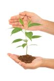Hand holding baby plant Royalty Free Stock Photo
