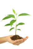 Hand holding  baby plant Stock Photo
