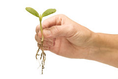 Hand Holding Baby Plant Royalty Free Stock Image